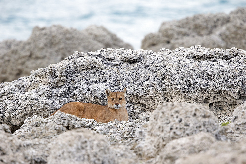 Puma lying in rocks, Torres del Paine Chile