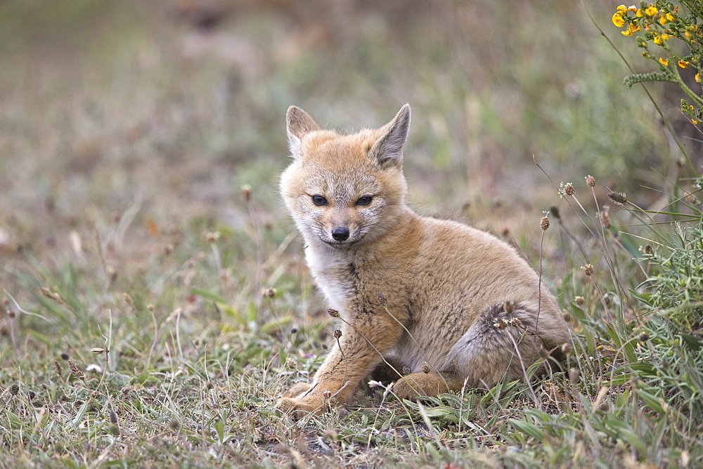 Young South American Grey Fox , Torres del Paine Chile