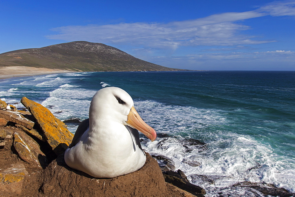 Black-browded albatros on nest, Falkland islands