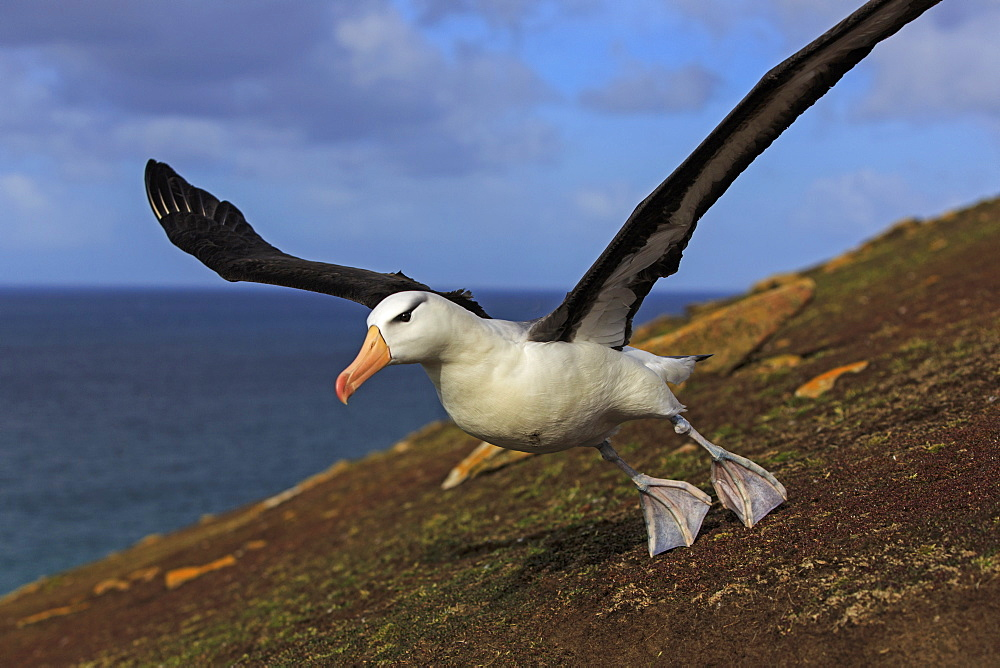 Black-browded albatros taking off, Falkland Islands