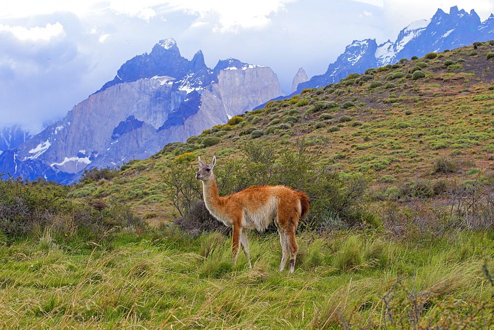 Guanaco in the steppe, Torres del Paine Chile