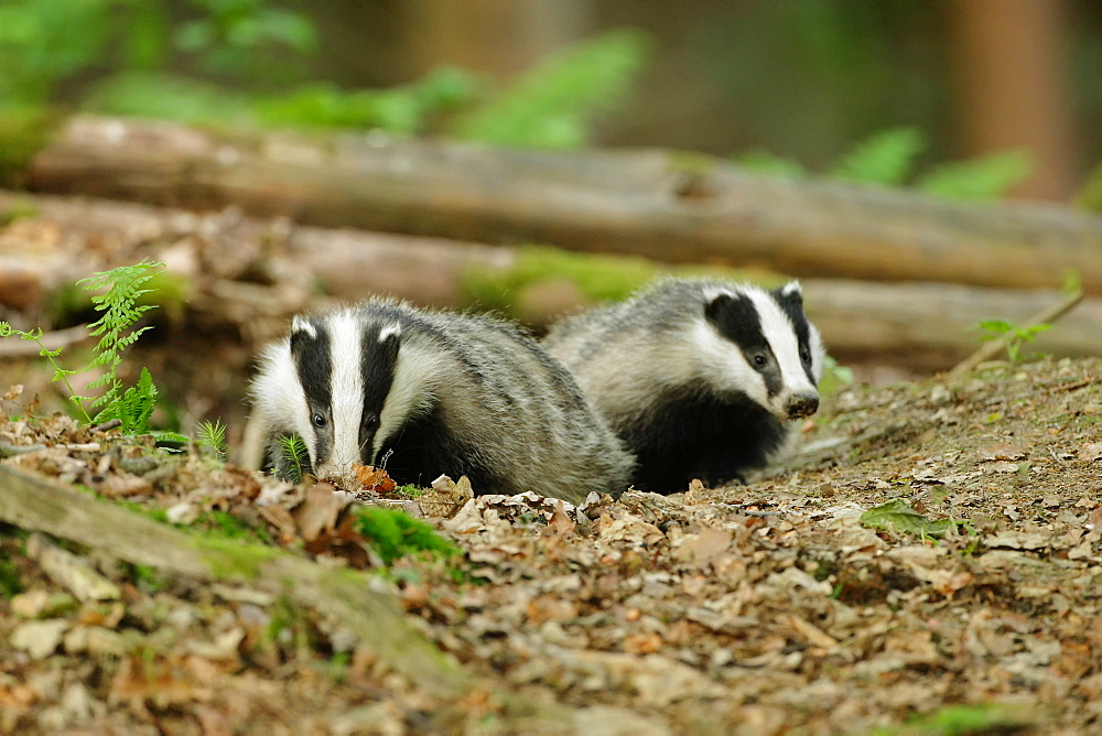 Eurasian badgers in forest, Ardennes Belgium
