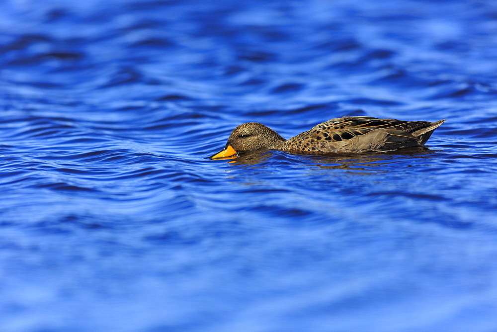 Speckled teal swimming, Falkland Islands