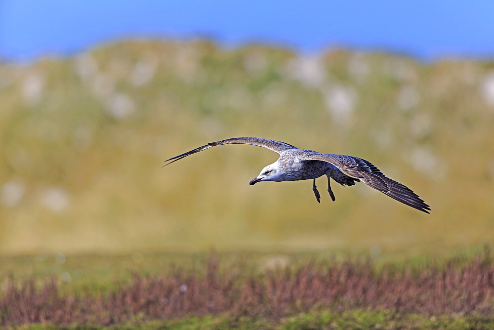 Kelp gull ready to land, Falkland Islands