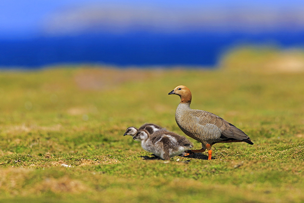 Ruddy-headed goose and her chicks, Falkland Islands