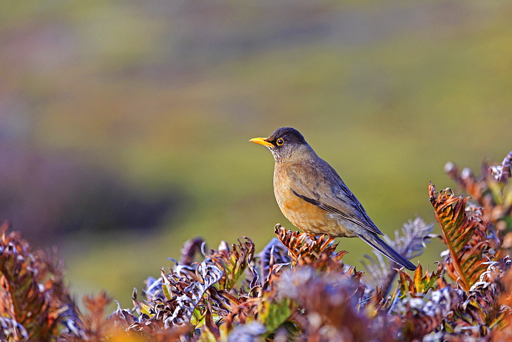 Falkland thrush on ferns, Falkland Islands