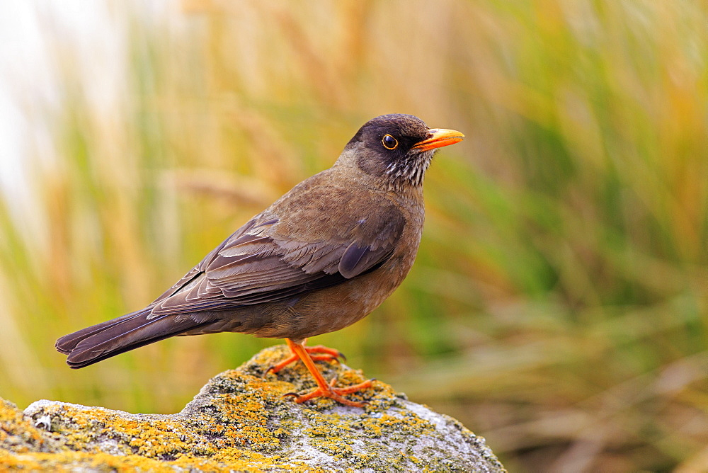 Falkland thrush on a rock, Falkland Islands