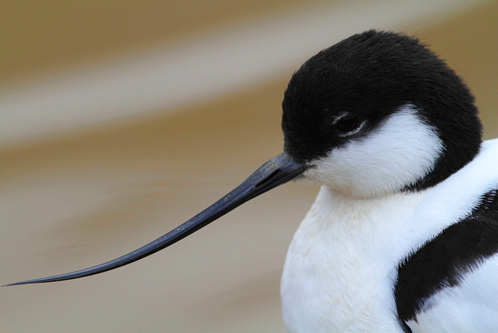 Portrait of Pied Avocet