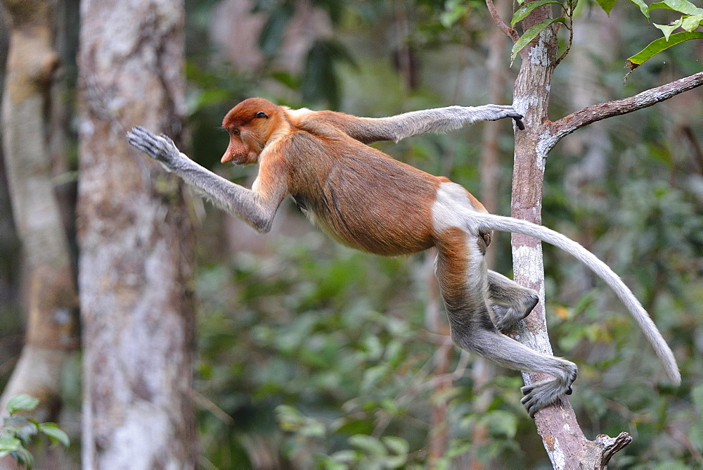 Proboscis monkey, Indonesia