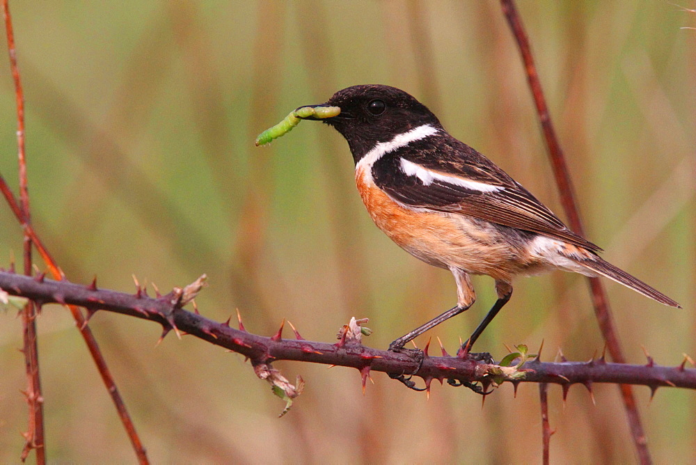Common Stonechat male feeding on bramble, France