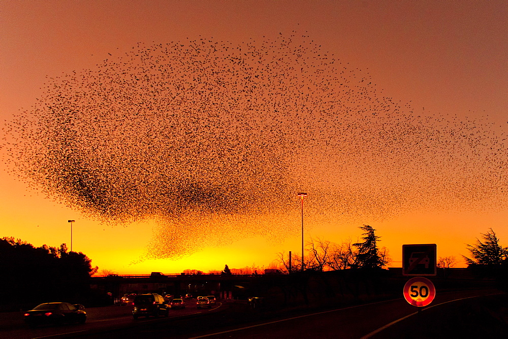 Common Starlings joining their dormitory in winter, France