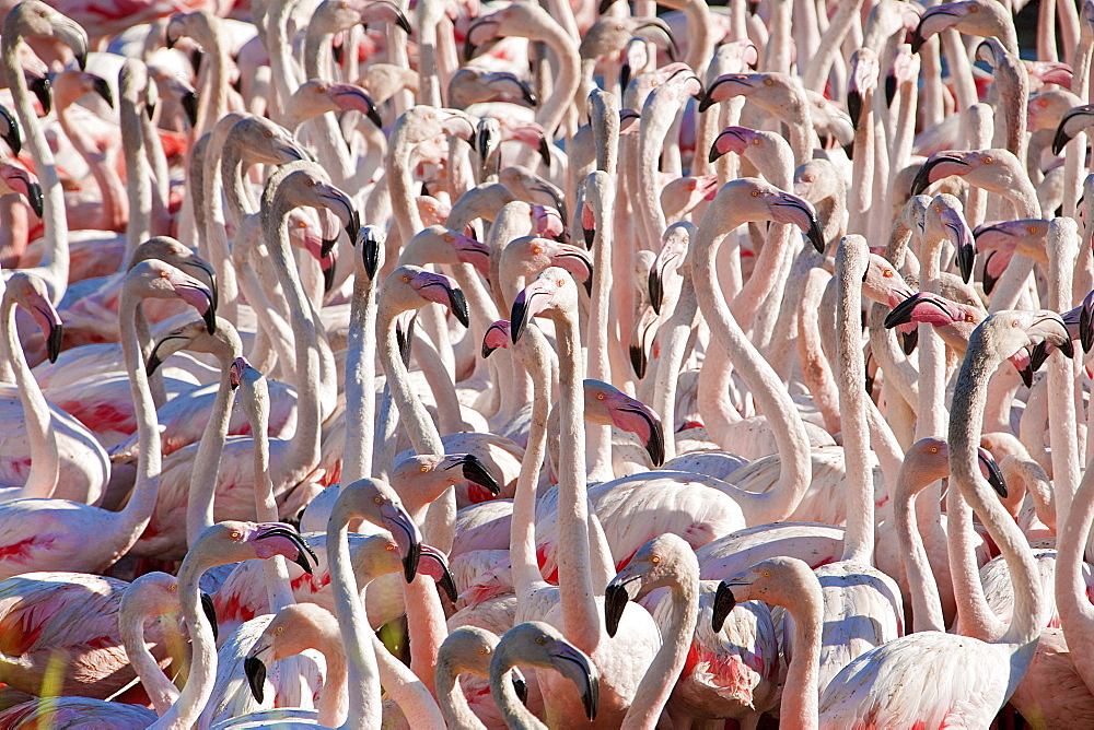 Flamingos, Pond Ca Sigean African Reserve France