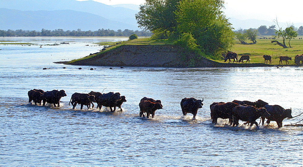 Water buffaloes wading, Lake Kerkini Greece