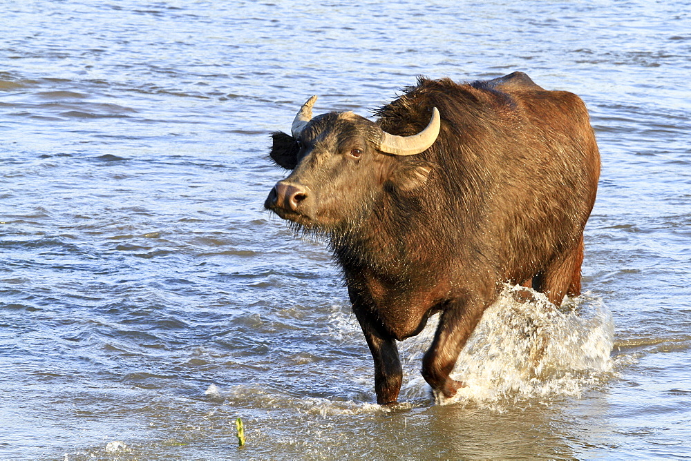 Water buffalo wading, Lake Kerkini Greece