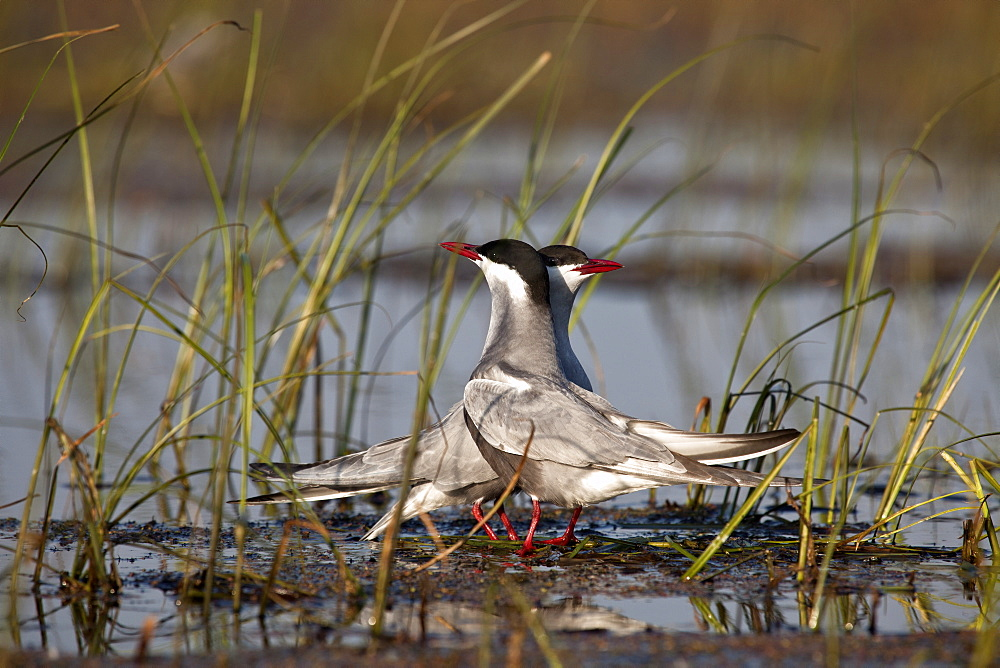Whiskered tern in a colony, Rakamaz Hungary