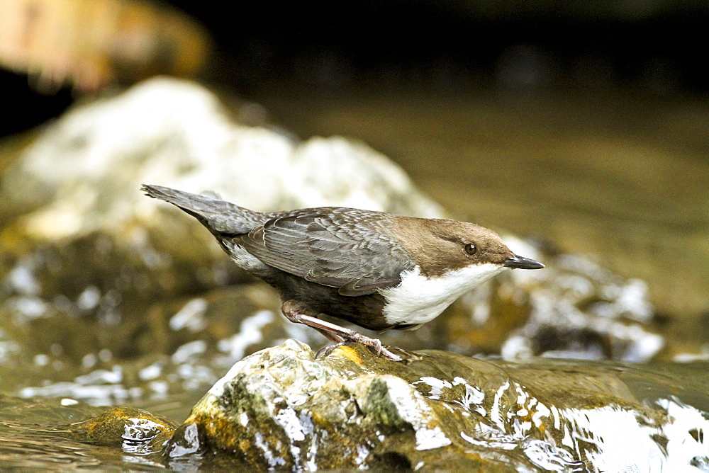White-throater Dipper on bank, Slovensky Raj NP Slovakia