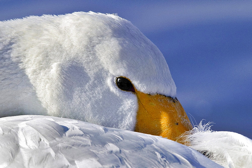 Portrait of Whooper Swan at rest, Hokkaido Japan