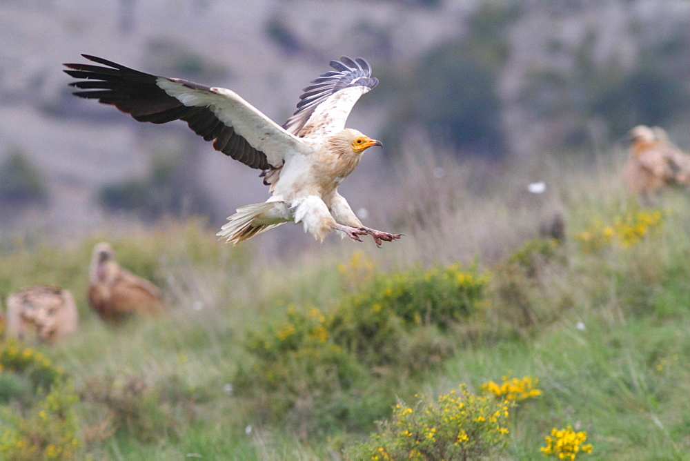 Egyptian Vulture landing and Eurasian Griffon Vultures-Spain