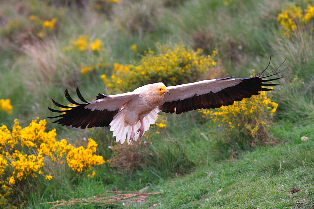 Egyptian Vulture landing, Spain