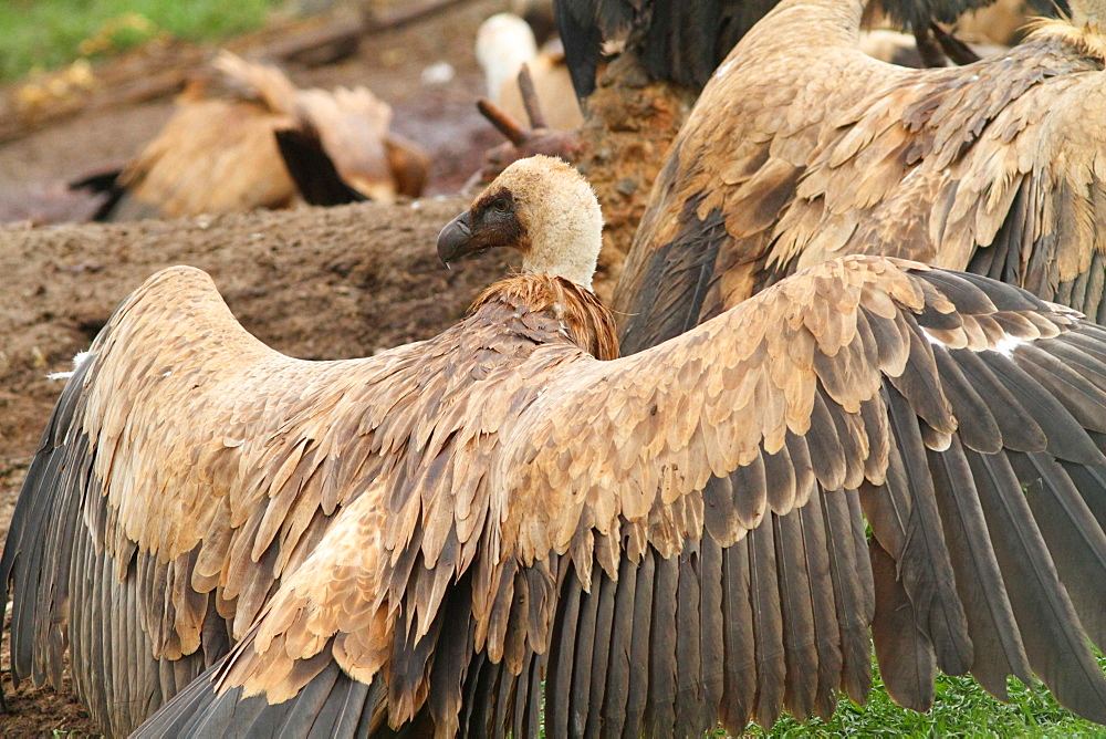 Griffon vulture on ground with wings spread, Spain