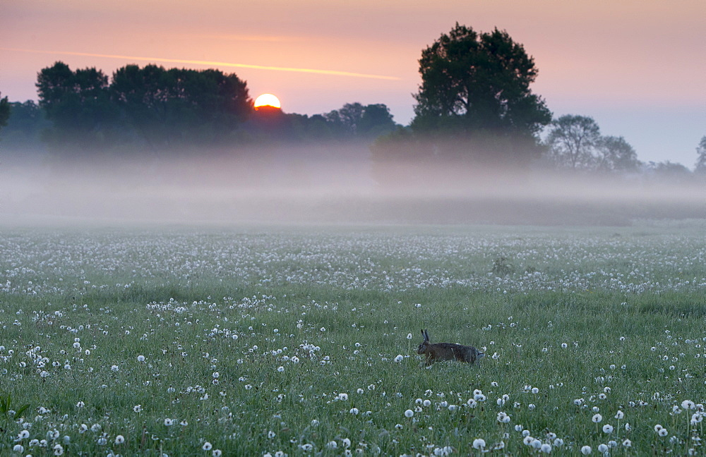 Brown Hare running in a meadow at sunrise at spring GB - 860-284917