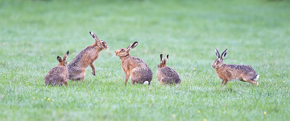 Brown Hares in a meadow at sunrise  at spring GB