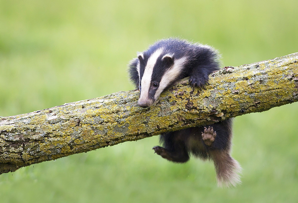 Badger climbing on a tree at spring GB - 860-284922