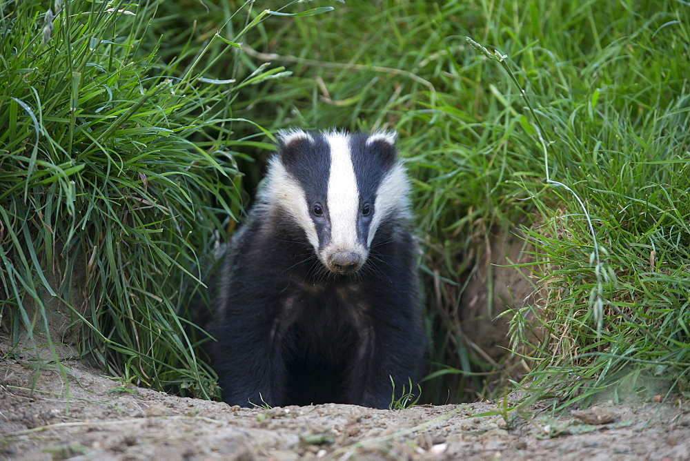 Badger coming out of its set at spring GB