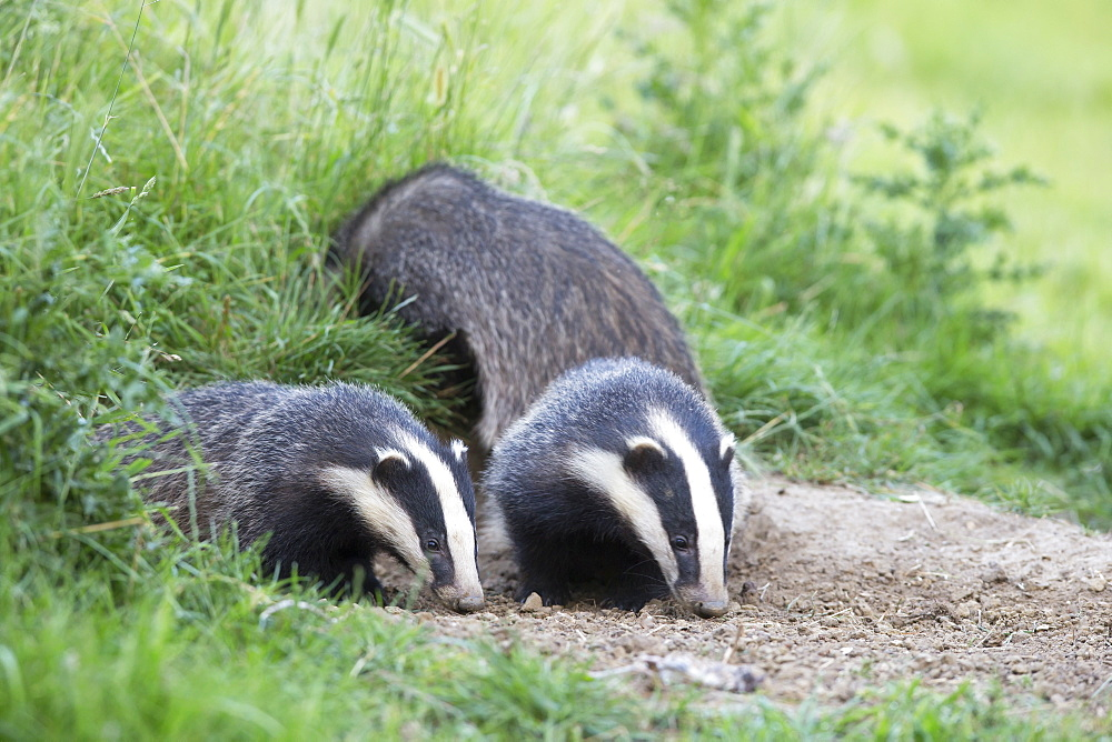 Badgers foraging at spring GB