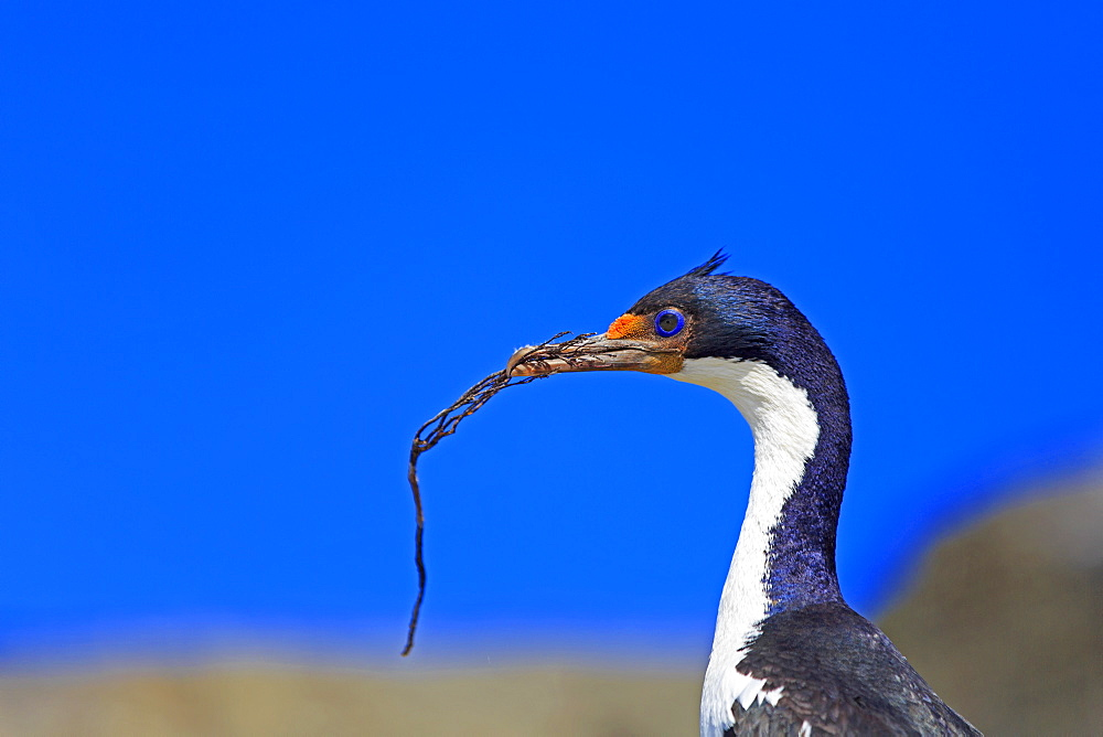 Imperial Cormorant building its nest, Falkland Islands