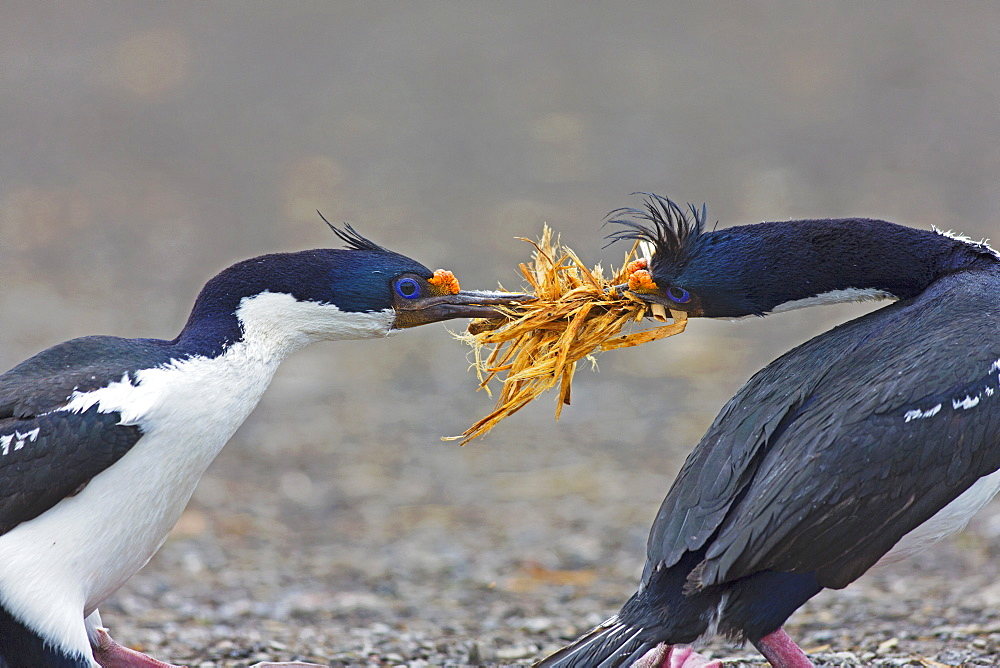 Imperial shag  fighting for tussac grass, Falkland islands