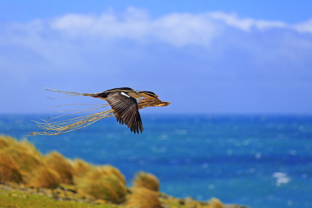 Imperial shag flying with tussac grass- Falkland islands