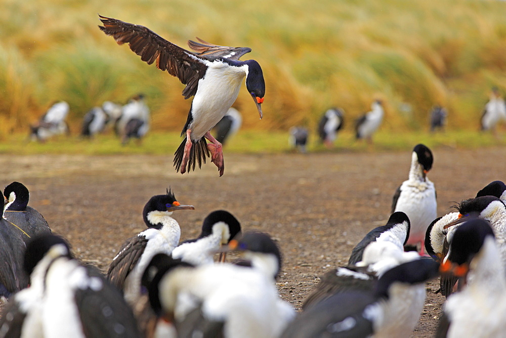 Imperial shag landing in its colony, Falkland islands