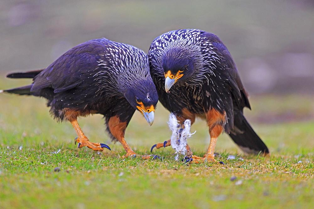 Striated caracaras playing with lambwool, Falkland islands