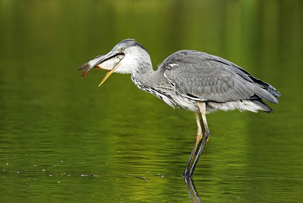 Grey Heron catching fish in water, Midlands Britain UK