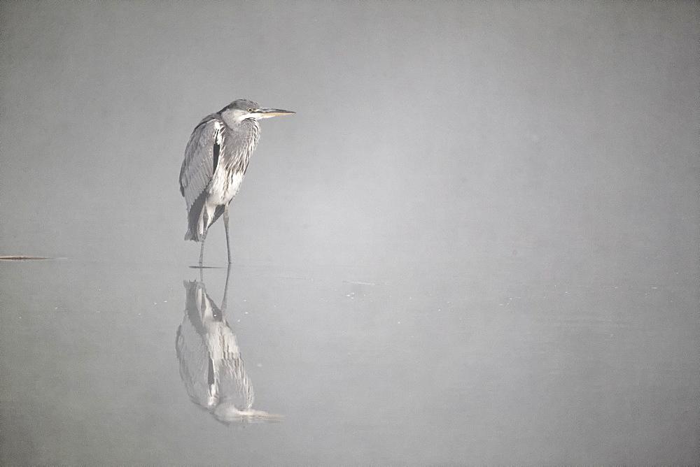Grey Heron in water on misty morning, Midlands Britain UK