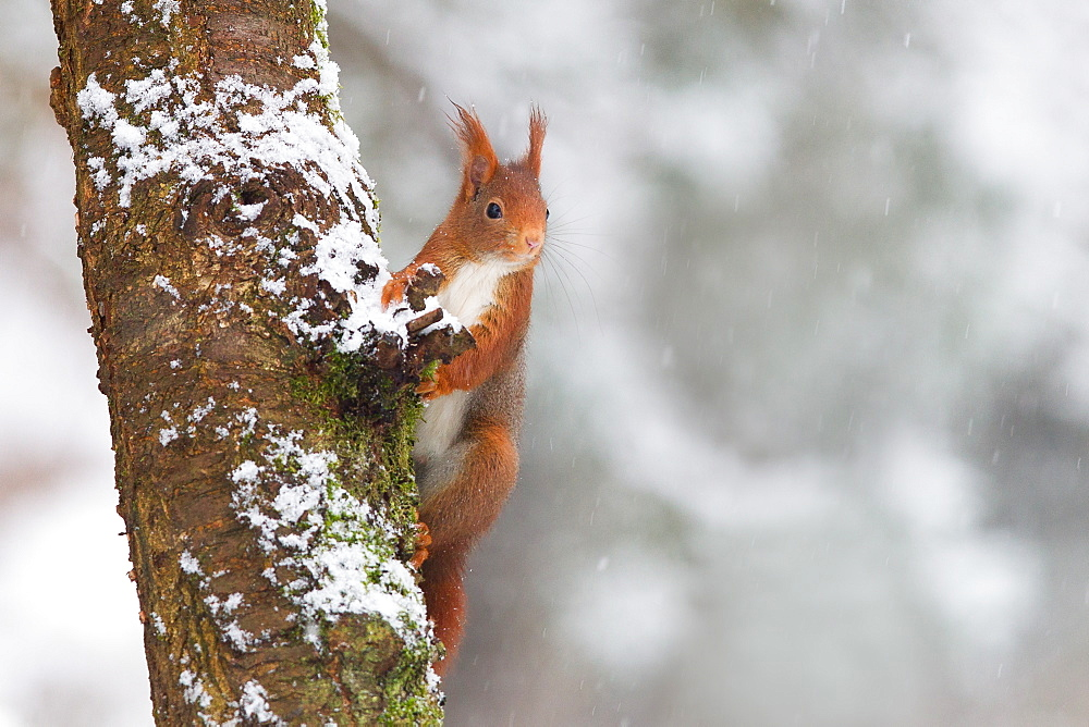 Red squirrel on a trunck, Northern Vosges France