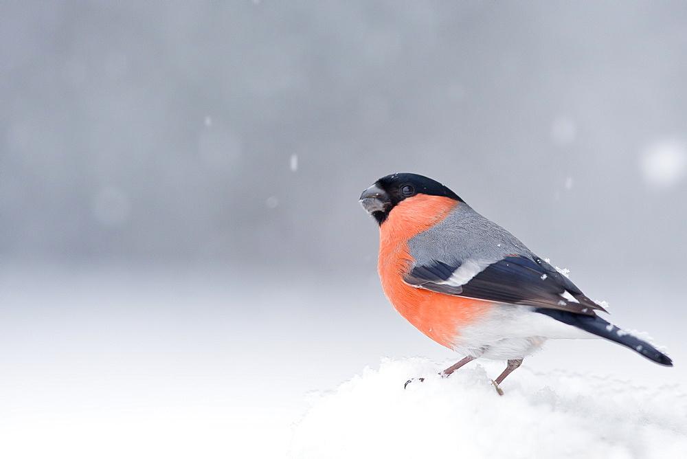 Bullfinch under snow, Northern Vosges France