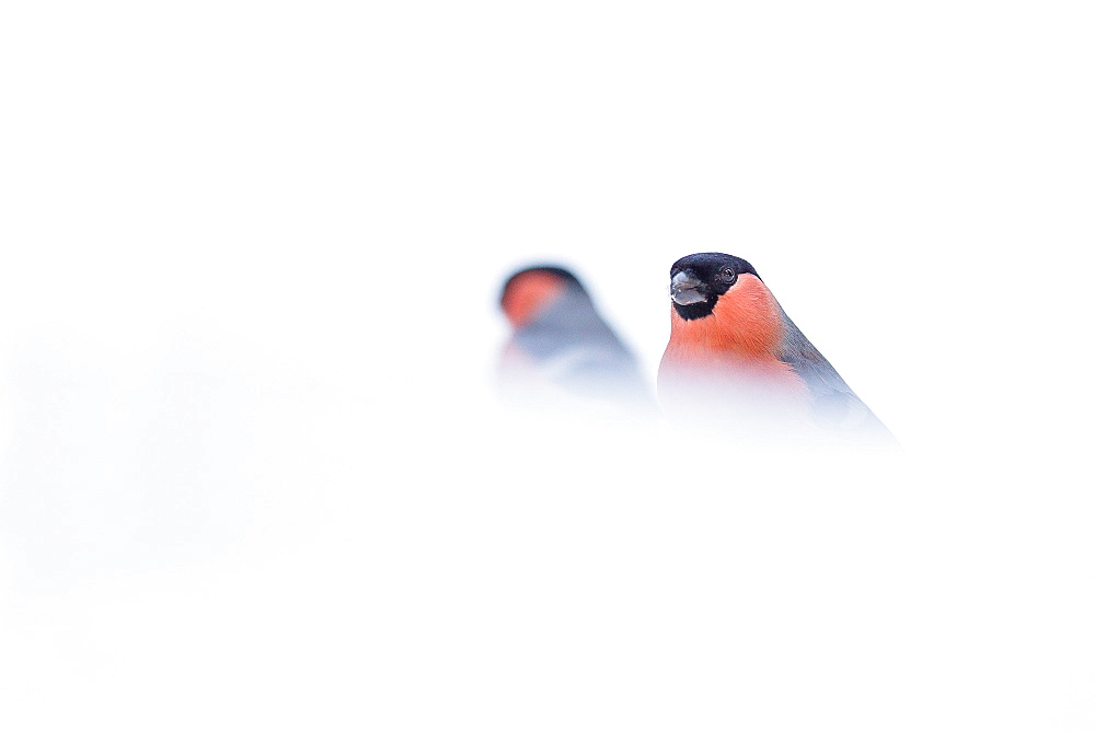 Bullfinches in snow, Northern Vosges France