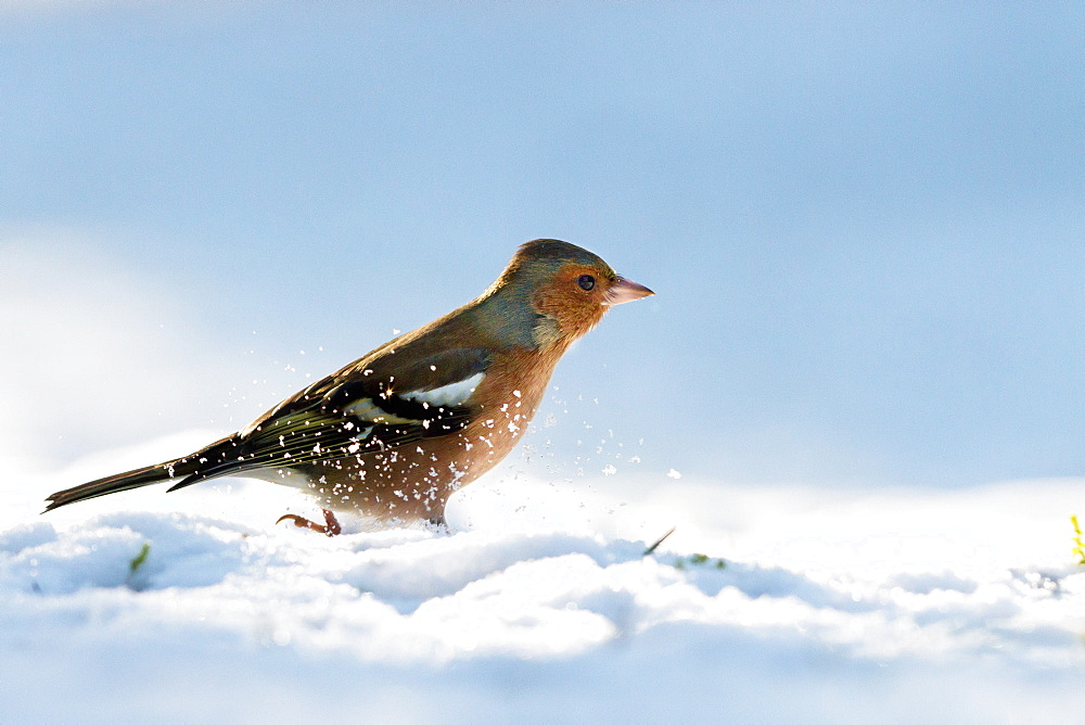 Common Chaffinch in snow, Northern Vosges France