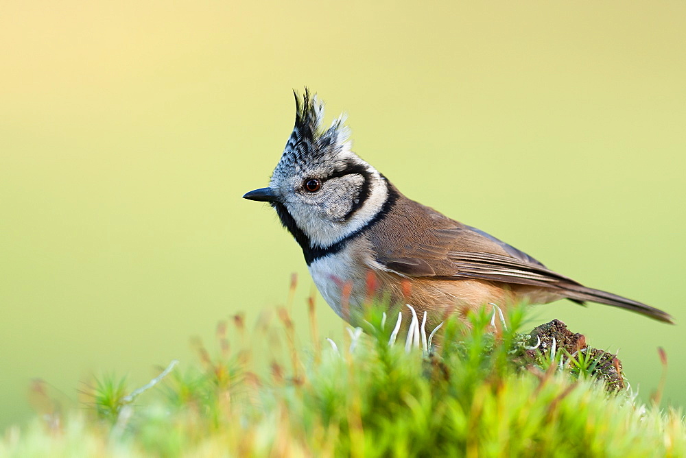 European Crested Tit on moss, France