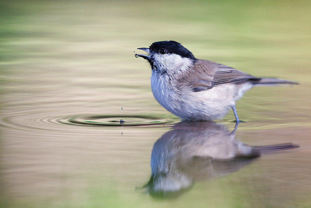 Marsh Tit bathing, Northern Vosges France