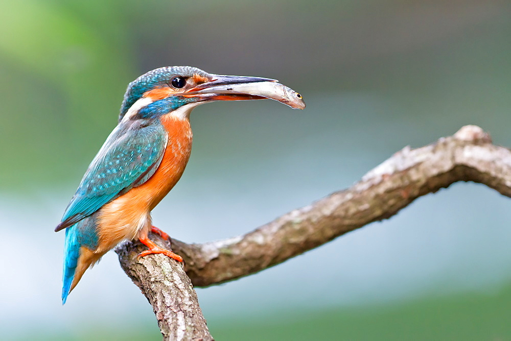 Common Kingfisher with prey, Northern Vosges France