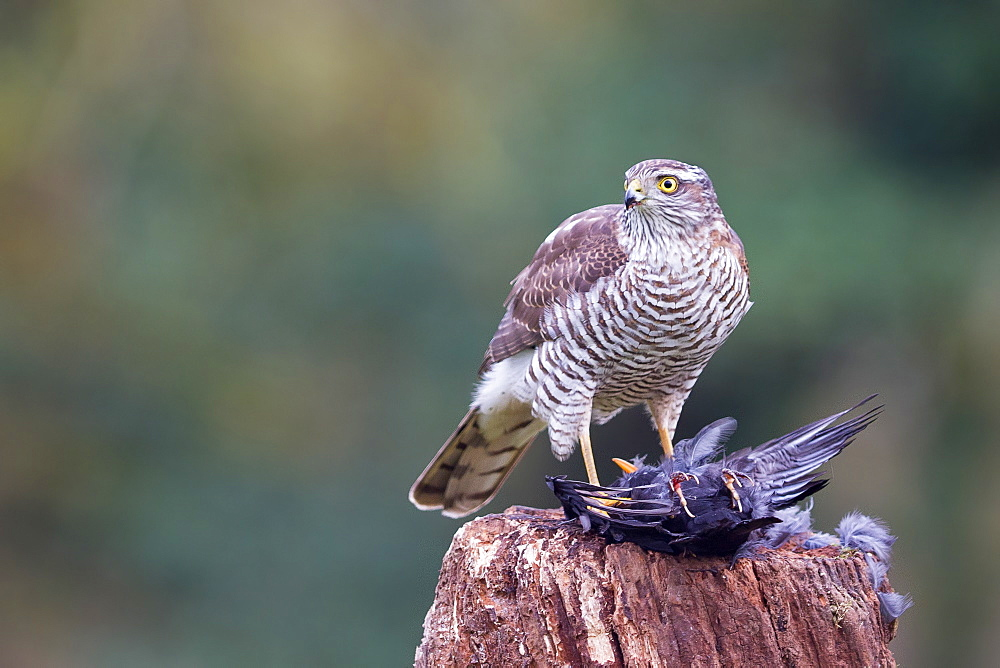 Juvenile male Sparrowhawk with prey, Northern Vosges France