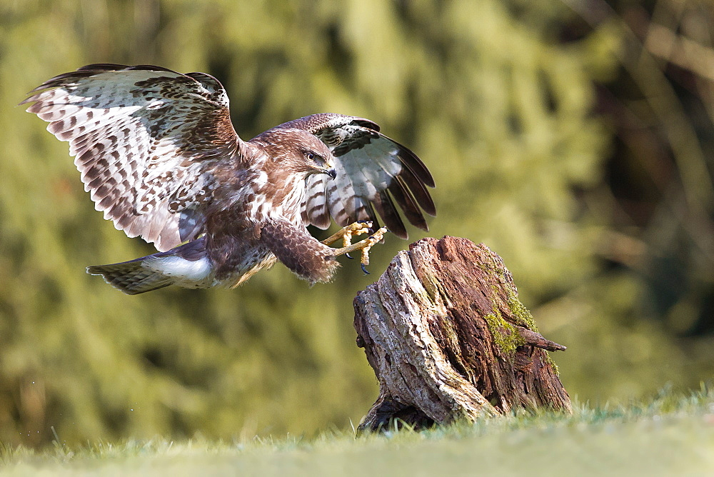 Common Buzzard landing on a stump, Northern Vosges France