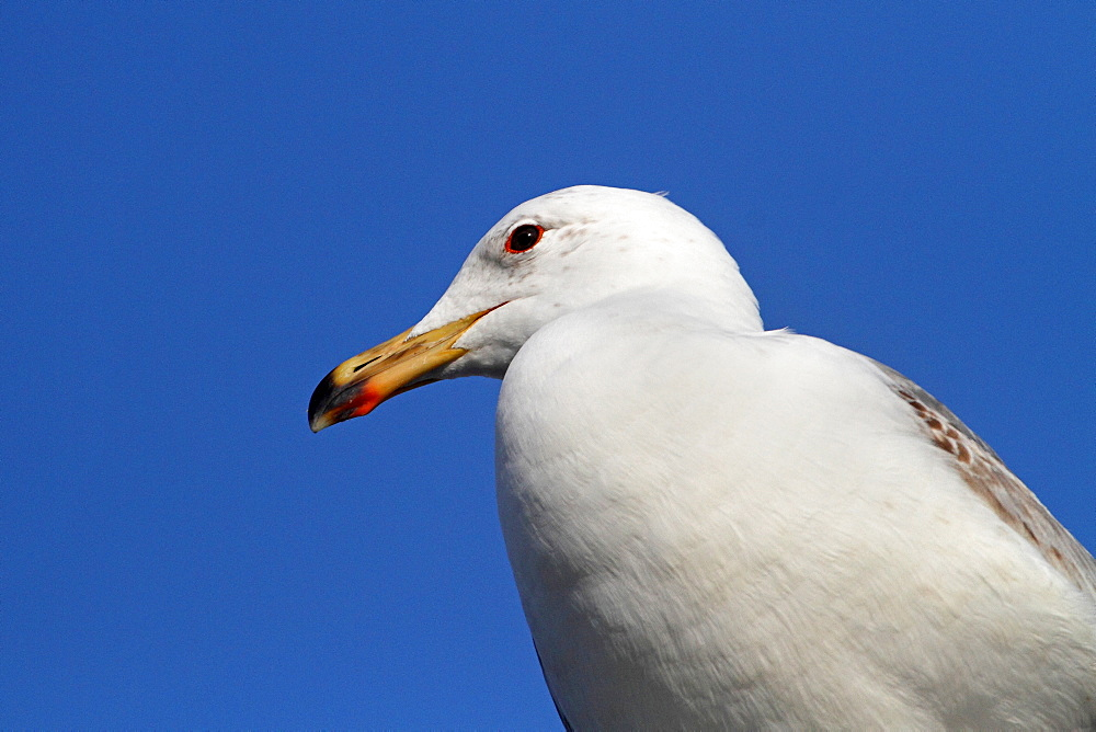 Immature yellow-legged gull portrait