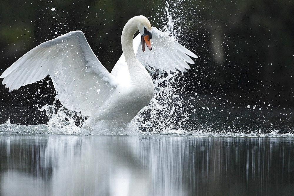 Mute Swan and splashes, Alsace France