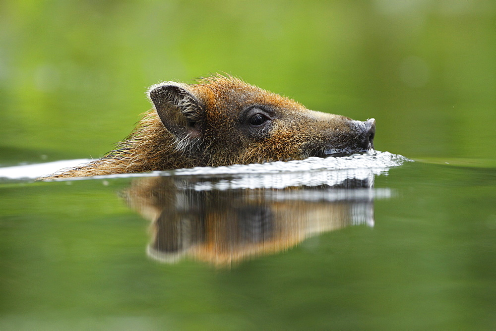 Portrait of Young Wild Boar swimming, Alsace France
