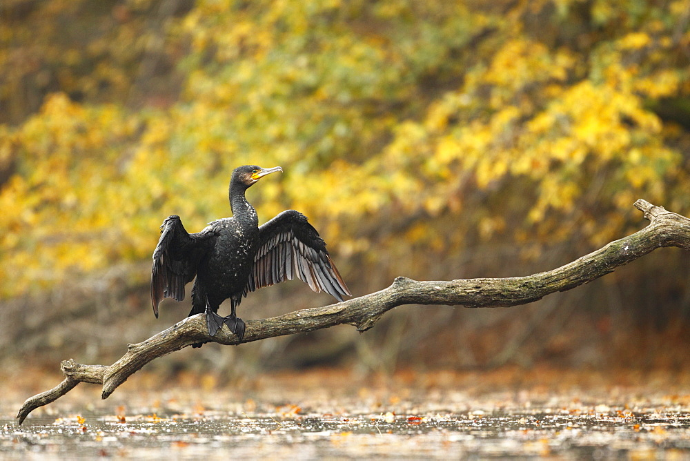 Great Cormorant dries on a branch, Alsace France