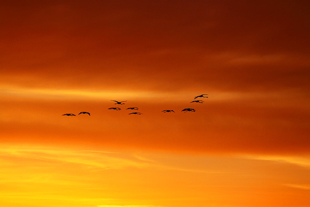 Rosy Greater Flamingoes in flight at sunrise-Camargue France